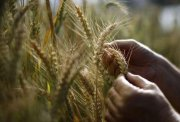 The global food crisis a threat to stability
