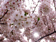 One year after destruction, Japan's cherry blossoms announce a growing hope