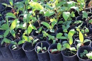 Banana plants (Photo courtesy of Katey Hearth)