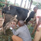 (Photo of Claver milking his cow courtesy Food For The Hungry)