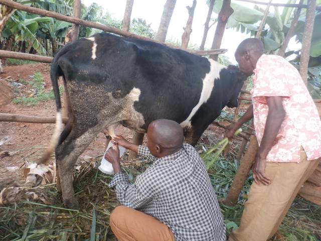 The difference a cow makes in Burundi