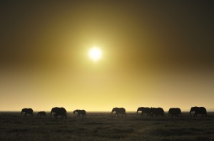 Photo Courtesy Diana Robinson via Flicker Elephants at sunrise in Amboseli National Park, Kenya