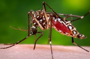 A female Aedes Aegypti mosquito in the process of acquiring a blood meal from her human host. (Photo: CDC/James Gathany)