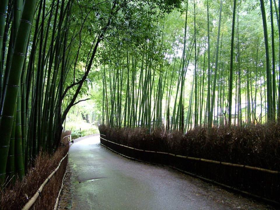bamboo forest in Kyoto, Japan (Jeffrey S. Johnston)