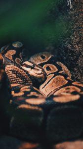 brown ball python, liberia