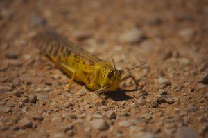 desert locust, locusts