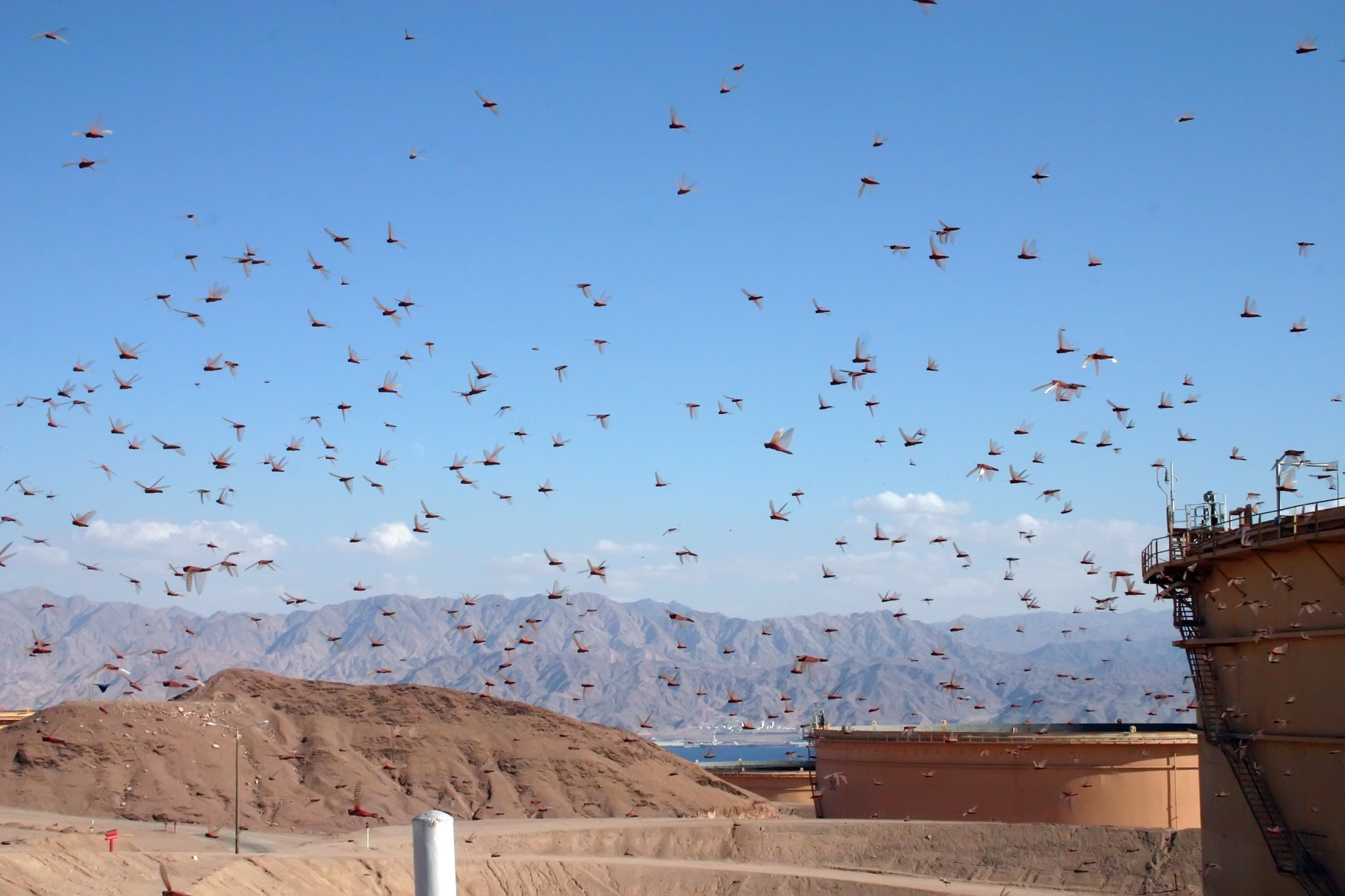Locust Threat Decreasing in Bekaa Valley